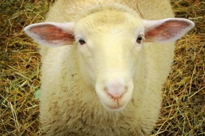 Осторожно, оспа овец совсем рядом!