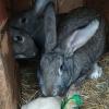 Угроза кролиководству!