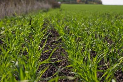 Тверской филиал провел фитопатологическую экспертизу семян озимых зерновых культур