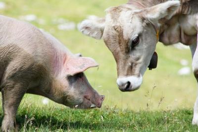 В России утверждены новые правила содержания свиней и КРС