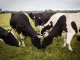 К сведению владельцев крупного рогатого скота