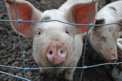 Осторожно, Африканская чума свиней!